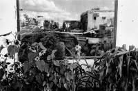 Sunflowers and window reflection, Espanola